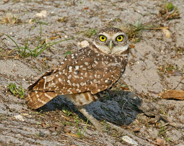 Burrowing_Owl_Florida (Tom Friedel Wiki)