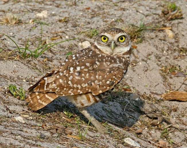 Burrowing_Owl_Florida (Tom Friedel Wiki)