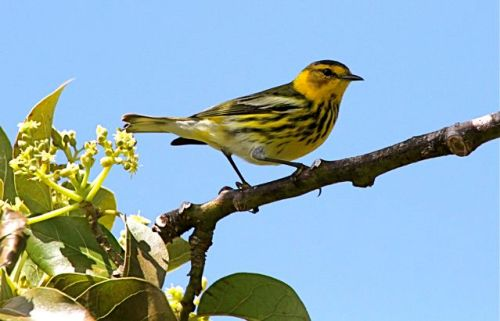 Cape May Warbler (m), Abaco - Bruce Hallett