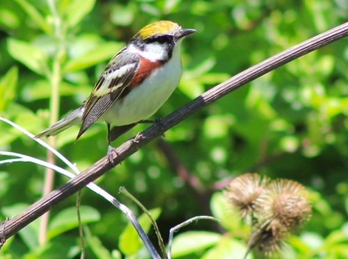 Chestnut-sided Warbler talainsphotographyblog - Version 2