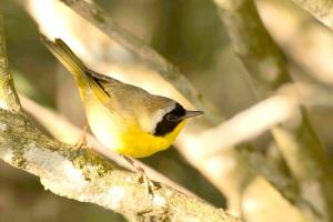 Common Yellowthroat.Gilpin Pond.Abaco Bahamas.Tom Sheley copy