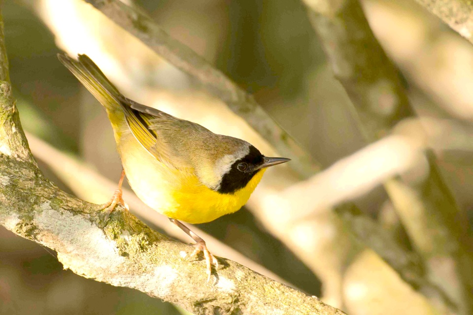 Common Yellowthroat.Gilpin Pond.Abaco Bahamas.Tom Sheley copy