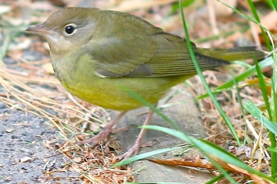 Connecticut Warbler Central Park NYC 10000birds.com