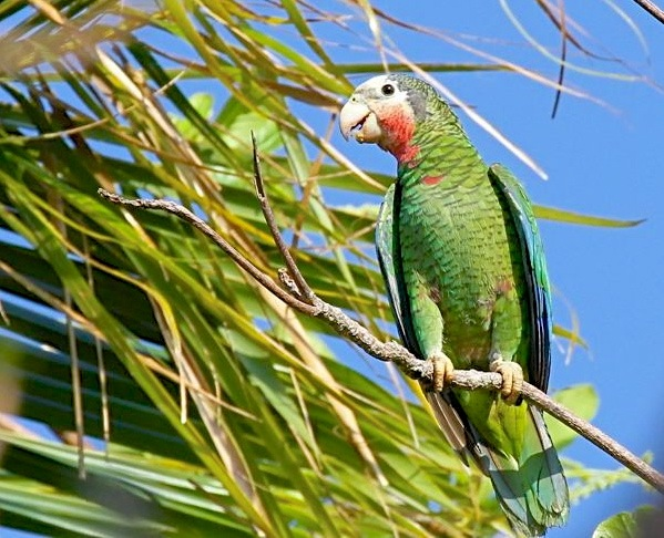 Abaco / Cuban Parrot (Bruce Hallett)