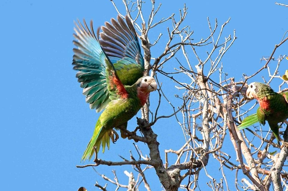 Abaco (Cuban) Parrot (Craig Nash)