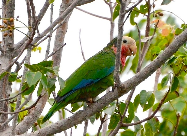Abaco (Cuban) Parrot -  Charlie Skinner