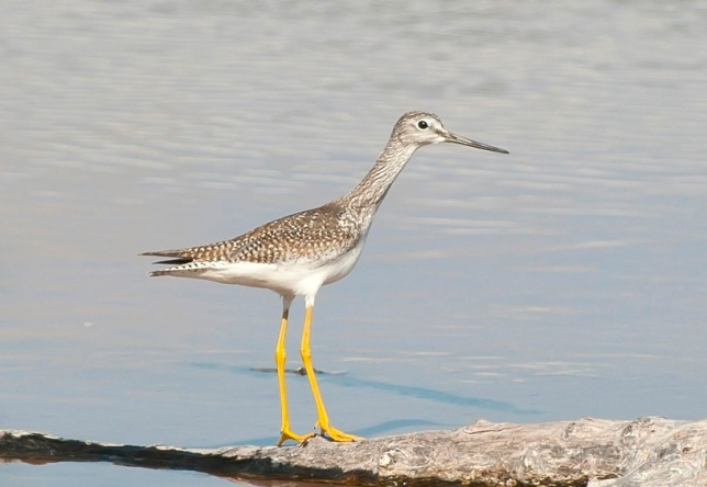 Greater Yellowlegs LR. Abaco Bahamas.Tom Sheley.2.12 copy 2