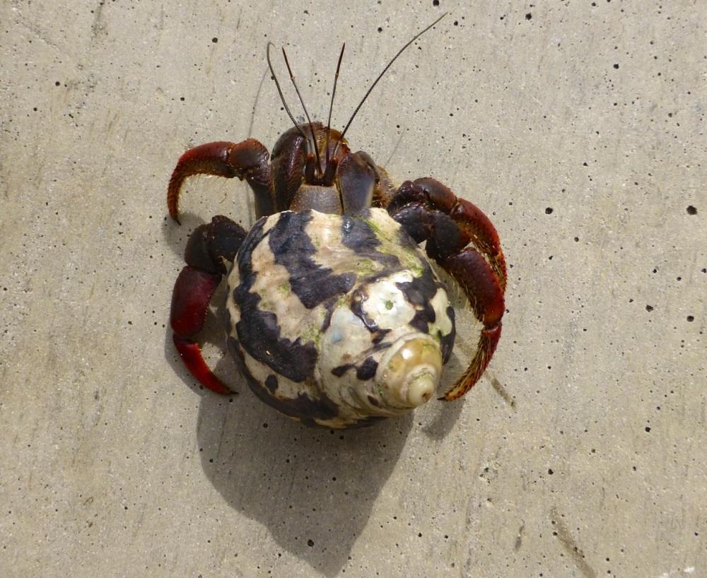 Hemit Crab, Delphi (Clare Latimer)