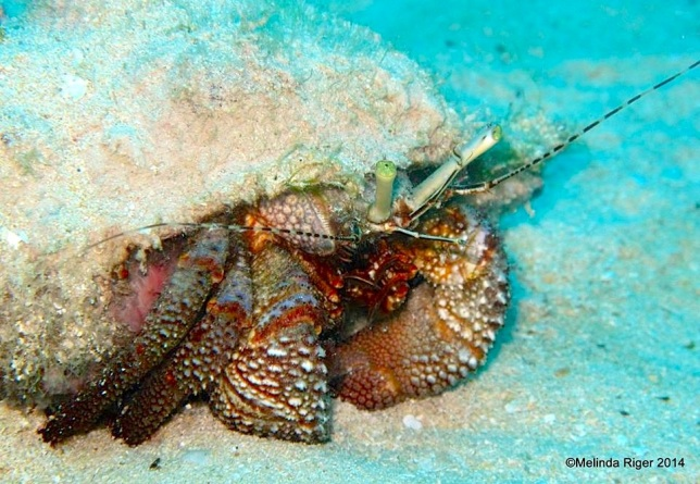 Hermit Crab ©Melinda Riger @ G B Scuba