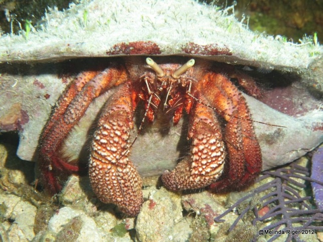 Hermit Crab ©Melinda Riger @ Grand Bahama Scuba