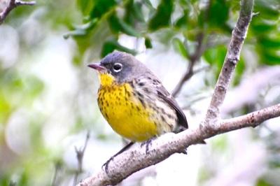 Kirtland's Warbler (m), Abaco - Woody Bracey