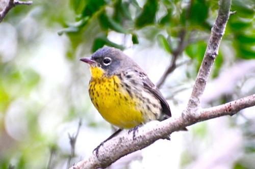 Kirtland's Warbler, Abaco (Woody Bracey)