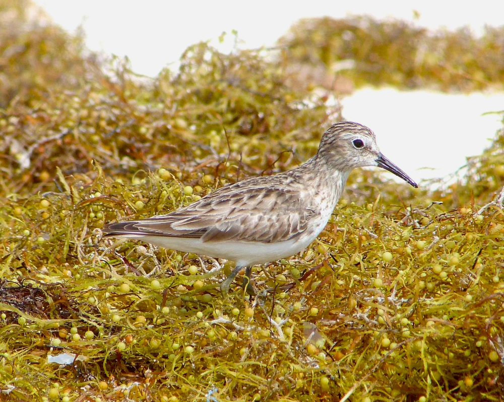 Least Sandpiper, Delphi Club Beach, Abaco - Keith Salvesen