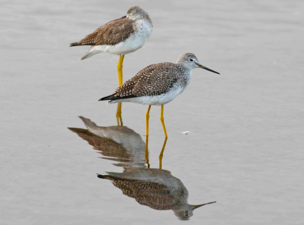Lesser Yellowlegs.Evening on the Marls.Abaco Bahamas.2.13.Tom Sheley small2