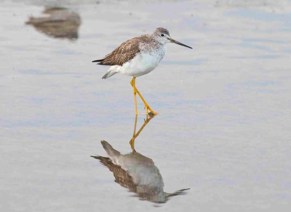 Lesser Yellowlegs.Marls.Abaco Bahamas.2.13.Tom Sheley small 3