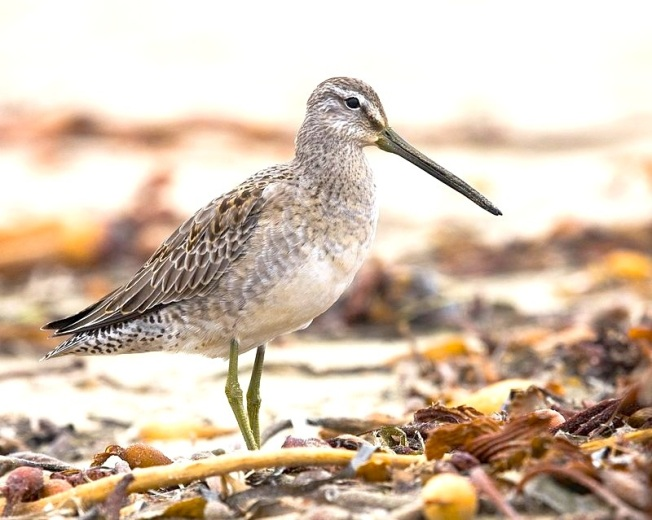 Long-billed Dowitcher Mike Baird Wiki