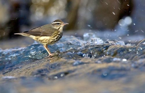 Louisiana waterthrush William H. Majoros WIKI