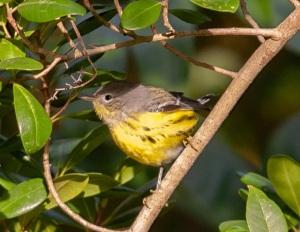 Magnolia warbler, Abaco - Craig Nash