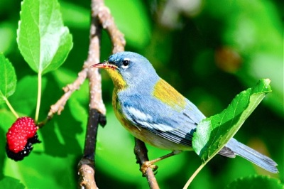 Northern Parula, Abaco - Woody Bracey