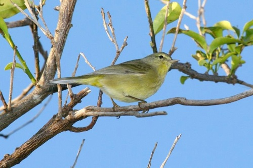 Orange-crowned Warbler dominic sherony wiki