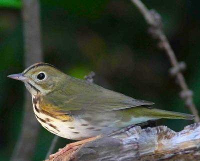 OVENBIRD_Bahamas-Great Abaco_6639_Ovenbird_Gerlinde Taurer 2