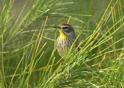 Palm Warbler, Abaco - Peter Mantle