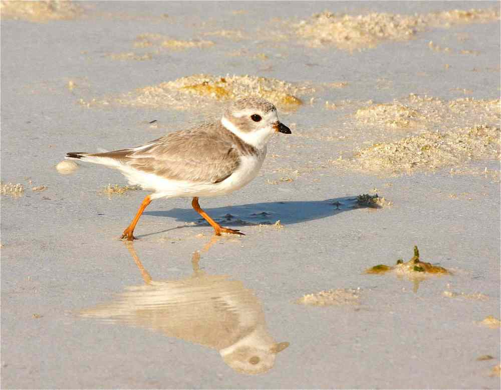 Piping Plover, Abaco - Bruce Hallett