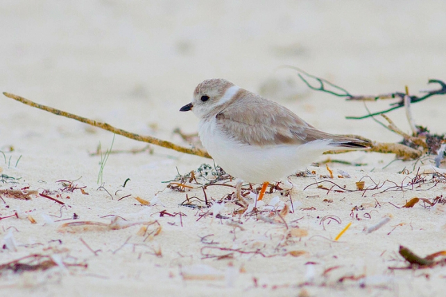 Piping Plover, Abaco  - Tom Reed