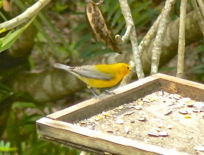 Prothonotary Warbler, Abaco - Ann Capling