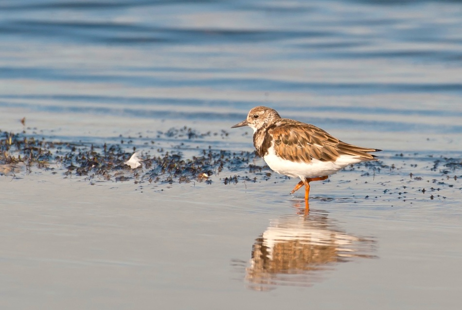 Ruddy Turnstone Abaco Bahamas. 2.12.Tom Sheley copy 2