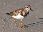Ruddy Turnstone winter plumage.Abaco Bahamas.2.13.Tom Sheley e