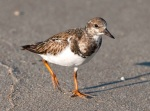 Ruddy Turnstone winter plumage.Abaco Bahamas.2.13.Tom Sheley e