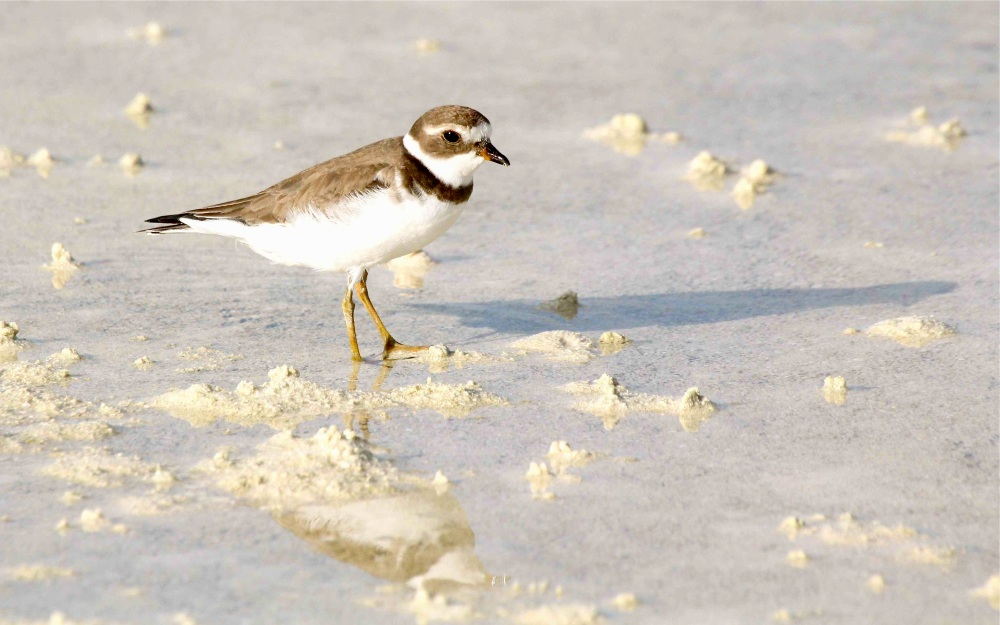 Semipalmated Plover (f nb), Abaco - Bruce Hallett