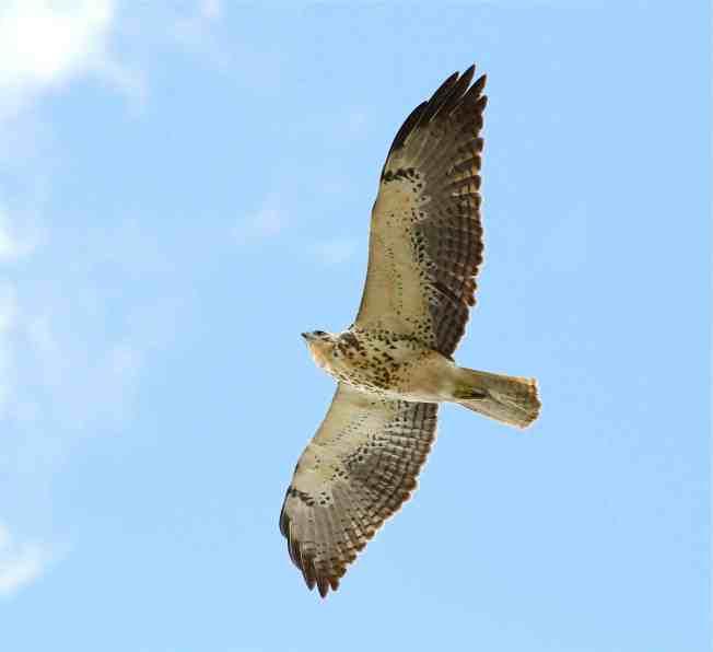 Swainson's Hawk (imm), Abaco - Bruce Hallett