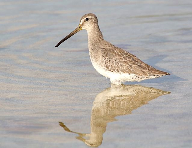 Short-billed Dowitcher (NB), Abaco - Bruce Hallett