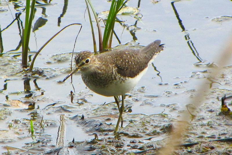 Solitary Sandpiper, Petrie Island D G E Robertson Wiki