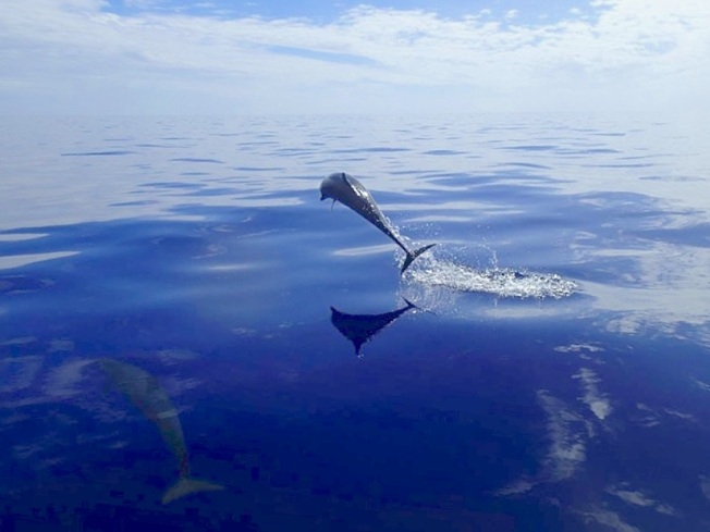 Spotted Dolphin Abaco, Bahamas (BMMRO) copy 2