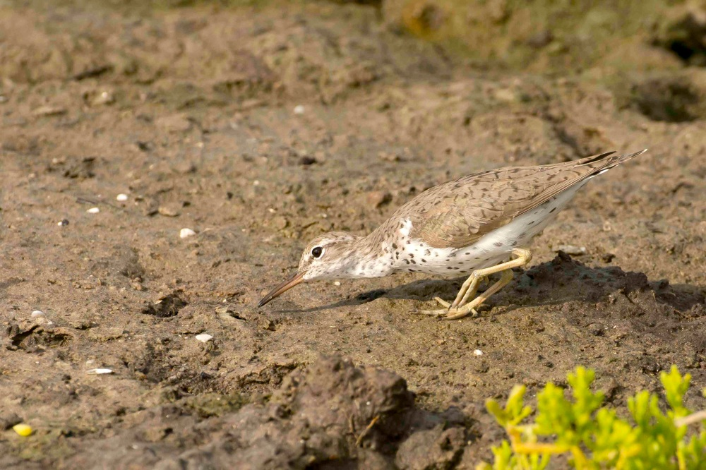 Spotted Sandpiper.Abaco Bahamas - Tom Sheley