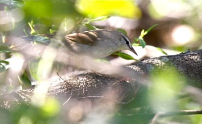 Swainson's Warbler, Abaco - Bruce Hallett