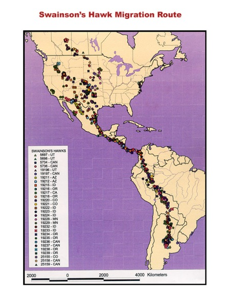 Swainson's_hawk_migration_route
