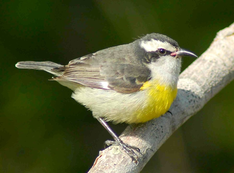 Bananaquit, Treasure Cay, Abaco - Becky Marvil