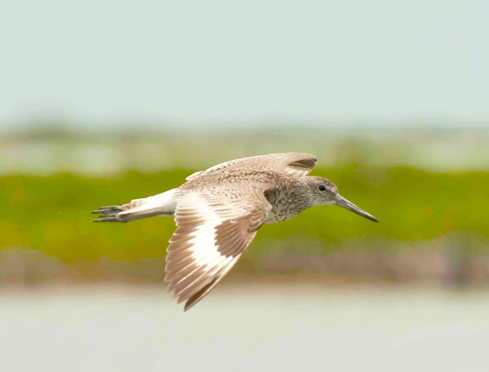 Willet in flight.Abaco Bahamas.6.13.Tom Sheley small2