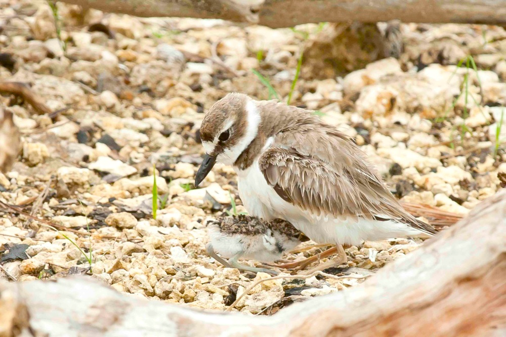 Wilson's Plover, Abaco Bahamas - Tom Sheley