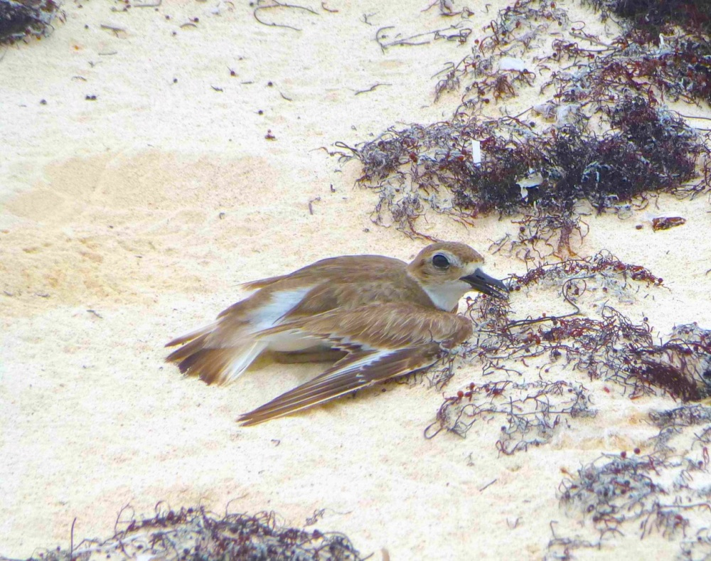Wilson's Plover, Abaco (broken wing display) Clare Latimer - Version 2