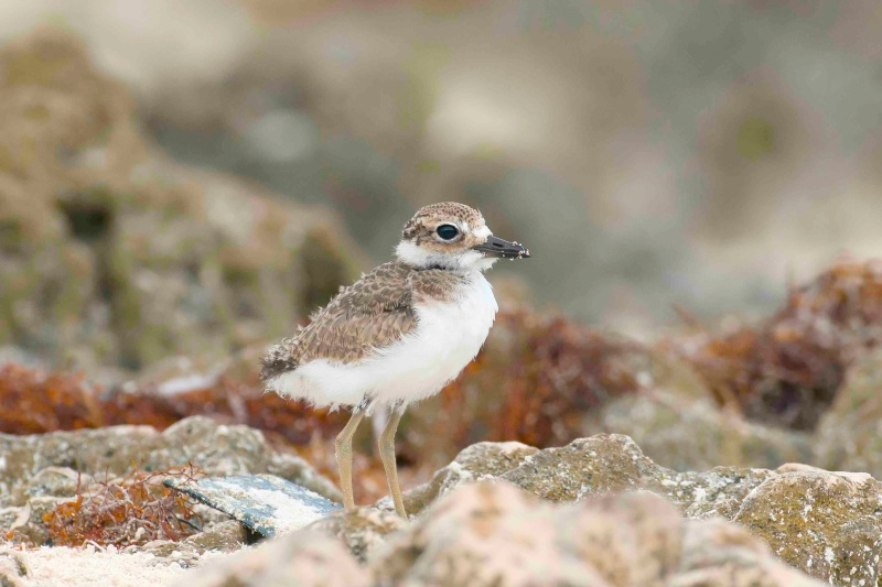 Wilson's Plover chick 5.Delphi Club.Abaco Bahamas.6.13.Tom Sheley copy small