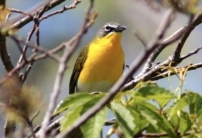 Yellow-breasted Chat Emily Willoughby wiki