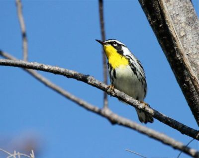 Yellow-throated Warbler, Abaco - Bruce Hallett