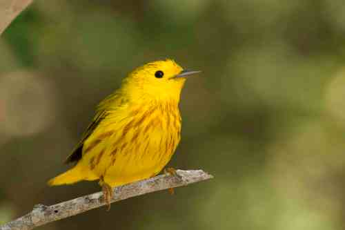 Yellow Warbler, Abaco Bahamas.6.13.Tom Sheley