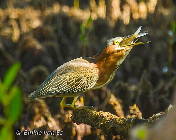 Green Heron eating fish (Binkie van Es)