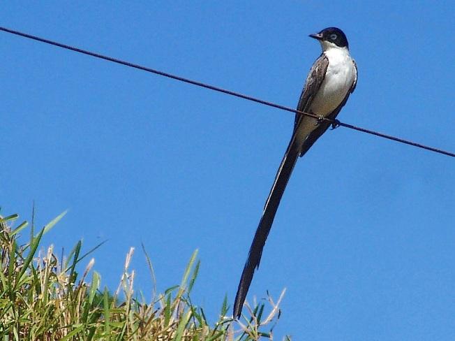 Fork-tailed flycatcher(Reynaldo wiki) Tesourinha_REFON